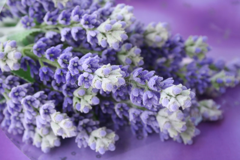 Download Lavender stock photo. Image of flower, green, stalks, bunch - 739748