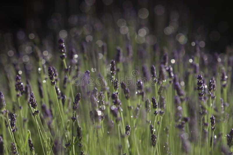 Lavender στοκ φωτογραφία