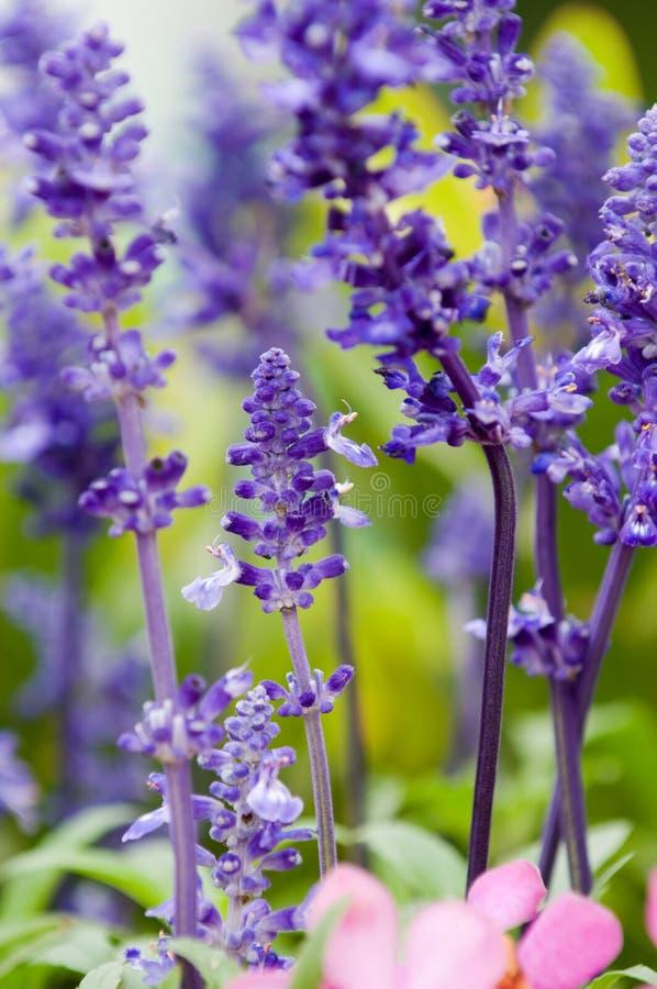 Lavender royalty free stock image