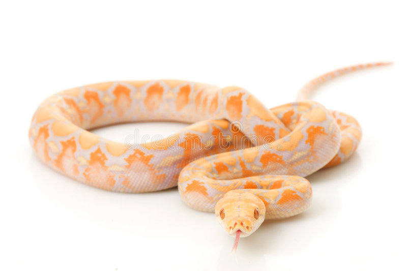 Download Lavender Albino Reticulated Python Stock Image - Image: 7295899