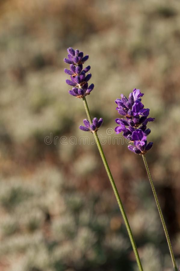 Lavender angustifolia, lavandula in herb garden in late autumn. Lavender angustifolia, lavandula blossom in herb garden in late autumn stock photos