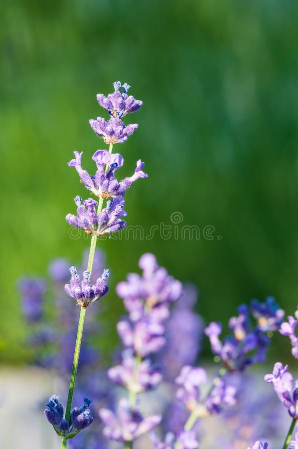 Lavender angustifolia, lavandula in herb garden in morning sunlight royalty free stock photos