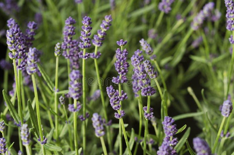 Lavender arbustos fecham arbustos Lavender 2 fotografia de stock