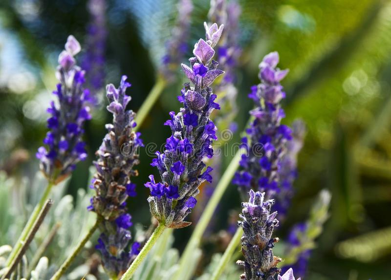 Lavender aromatic flowers in the garden. Spa,health care,cosmetics,essential oils concept. stock photo