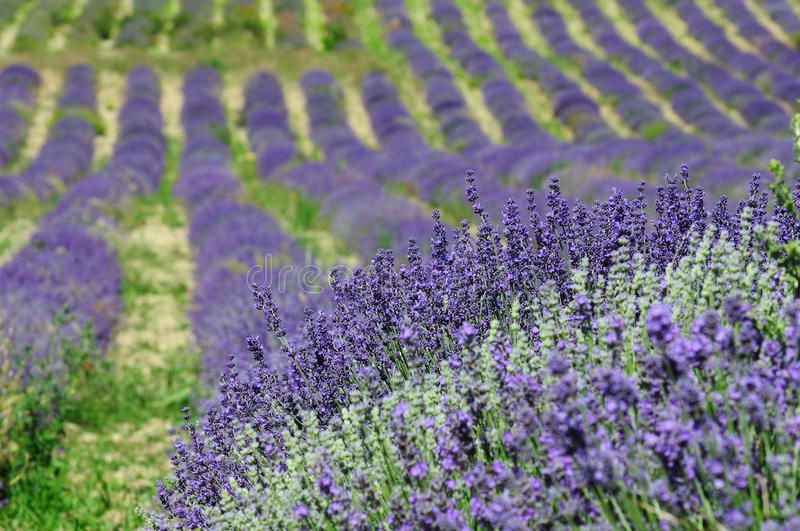 Download Lavender background stock photo. Image of picturesque - 34439370