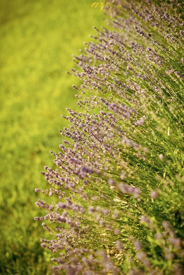Lavender. Beauty of nature stock photo
