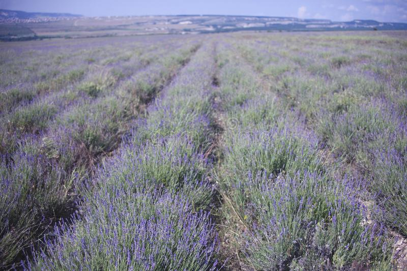 Lavender flowers field. Crimea landscape. Lavender blooming flowers field. Crimea nature landscape royalty free stock photography