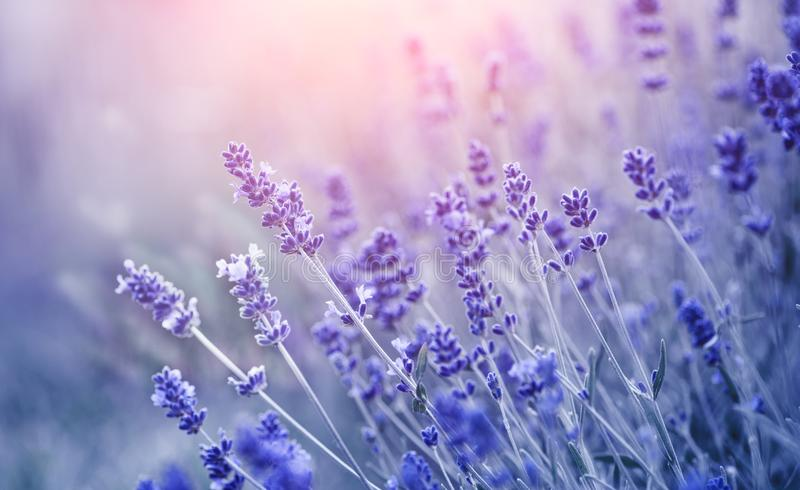Lavender. Blooming fragrant lavender flowers on a field, closeup. Violet background of growing lavender swaying on wind. Aromatherapy stock photography