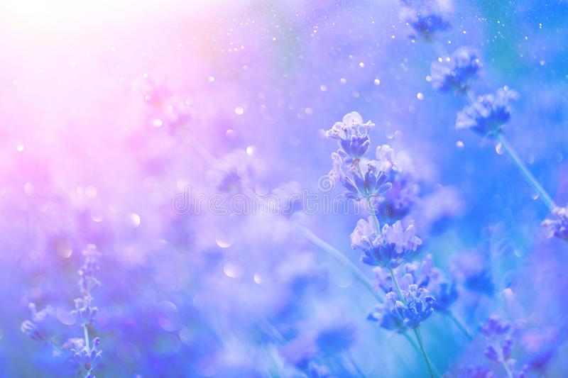 Lavender. Blooming fragrant lavender flowers on a field, closeup. Violet background of growing lavender swaying on wind royalty free stock images