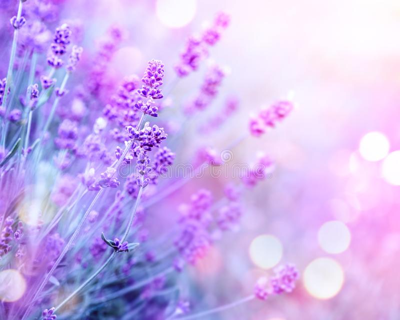 Lavender. Blooming fragrant lavender flowers on a field, closeup. Violet background of growing lavender swaying on wind. Aromatherapy stock image