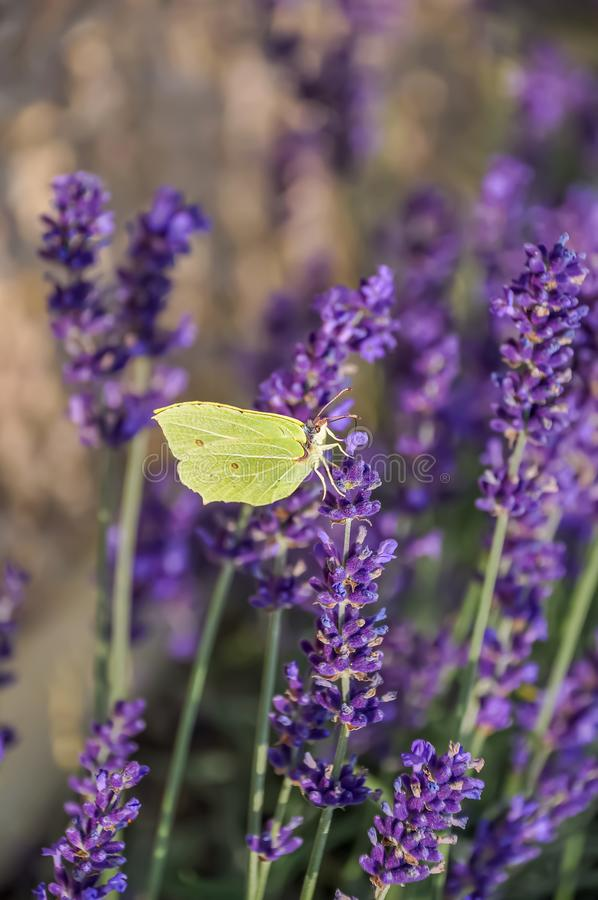 Blooming purple lavender flowers and green grass in the meadows or fields. Yellow butterfly in summertime. Evening stock image