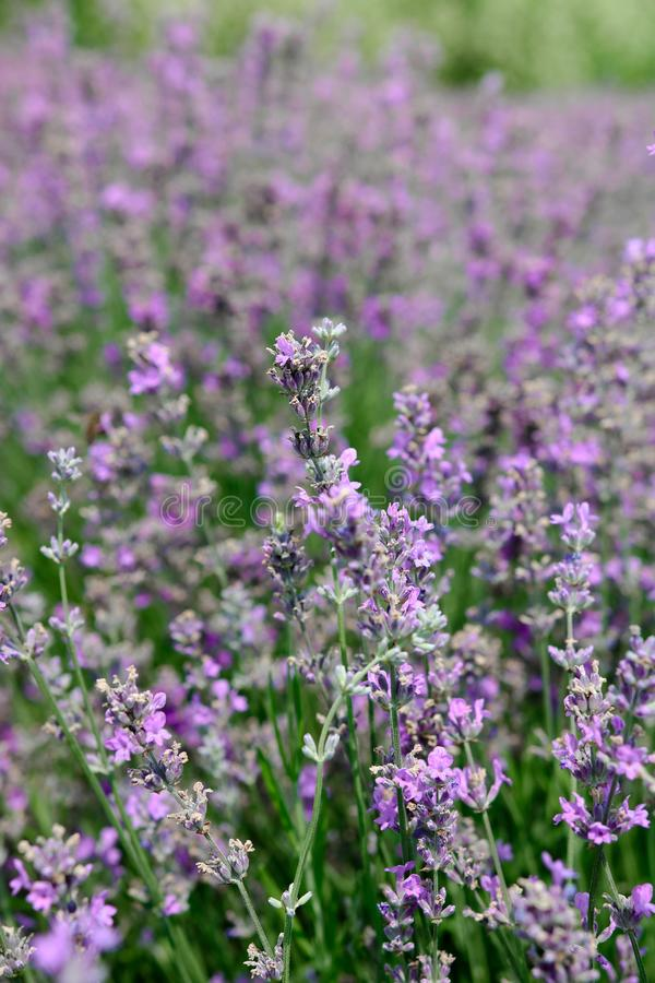 Lavender blossom stock photo
