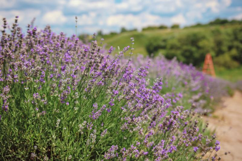 Lavender blossom royalty free stock images