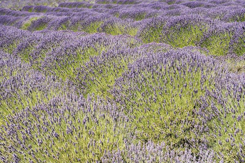 Lavender Blossomas No Verão fotografia de stock royalty free