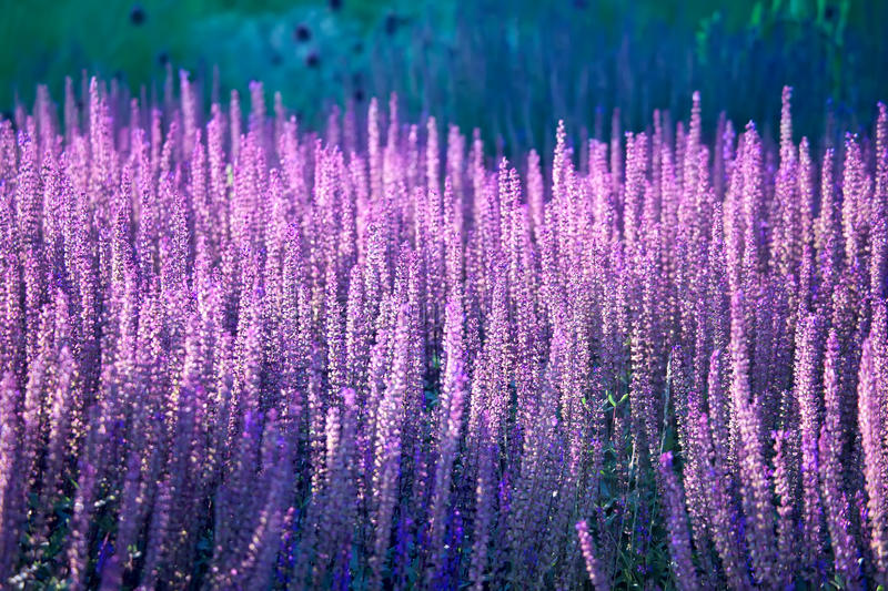 Lavender blossoming in the field royalty free stock photo