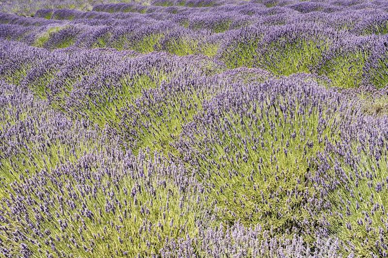 Lavender Blossoms In Summer royalty free stock photography