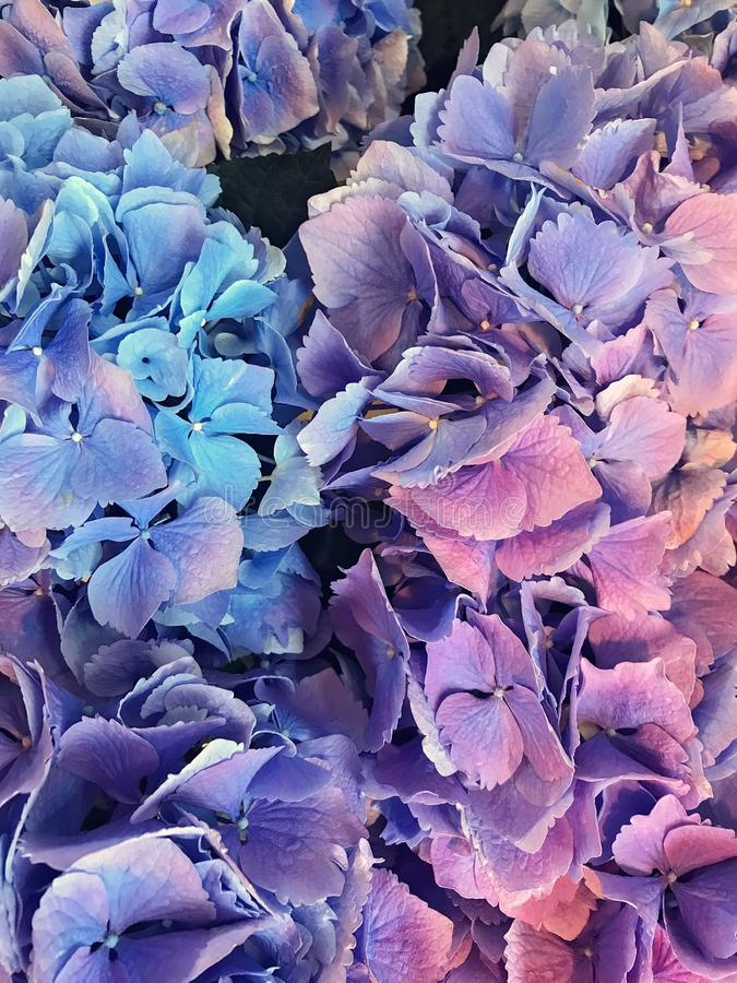 Lavender and Blue Hydrangea Flower Close Up royalty free stock photos