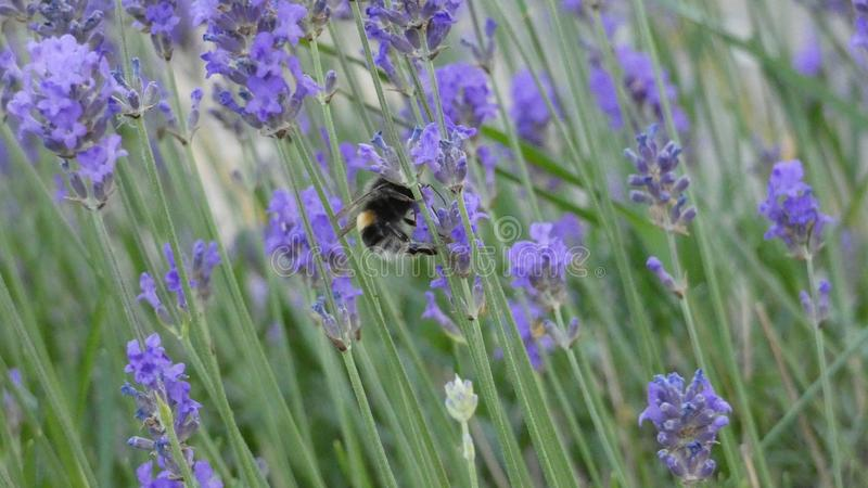 Lavender and Bumble Bees enjoying a summer day in England 3 royalty free stock image