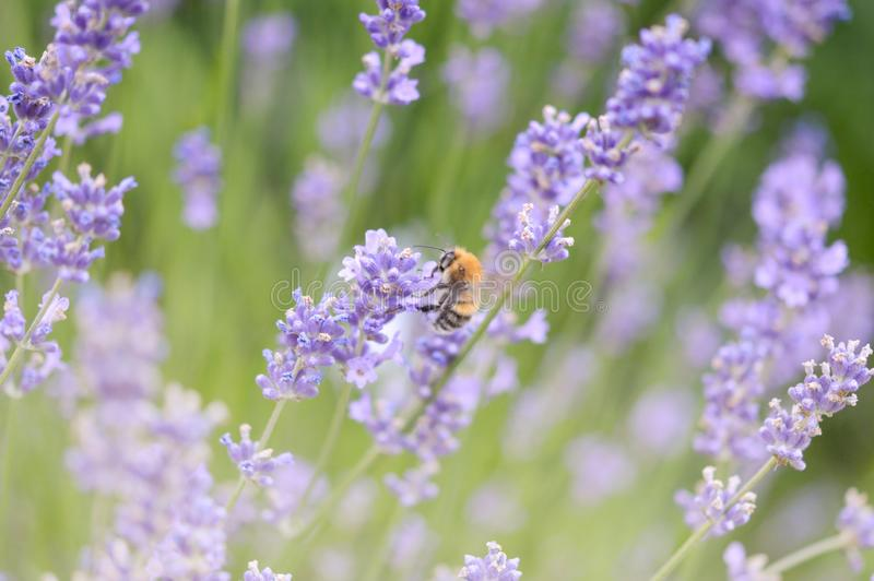 Lavender and bumblebee royalty free stock photography