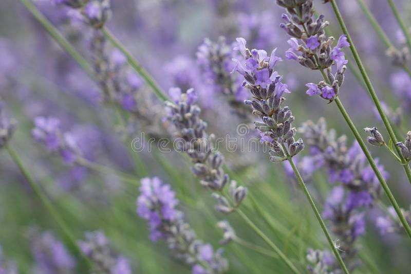 Lavender bush on the field stock photo