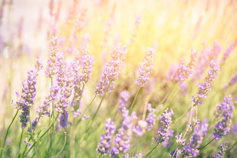 Lavender Bush. Horizontal Toned Close Up Shot with Bright Sunlight royalty free stock images