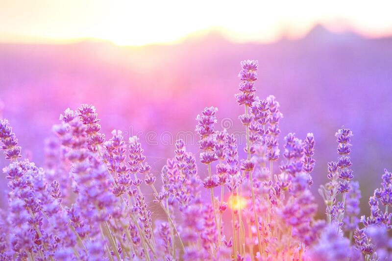 Lavender bushes closeup on sunset. Sunset gleam over purple flowers of lavender. Bushes on the center of picture and sun. Light on the left. Provence region of royalty free stock photography