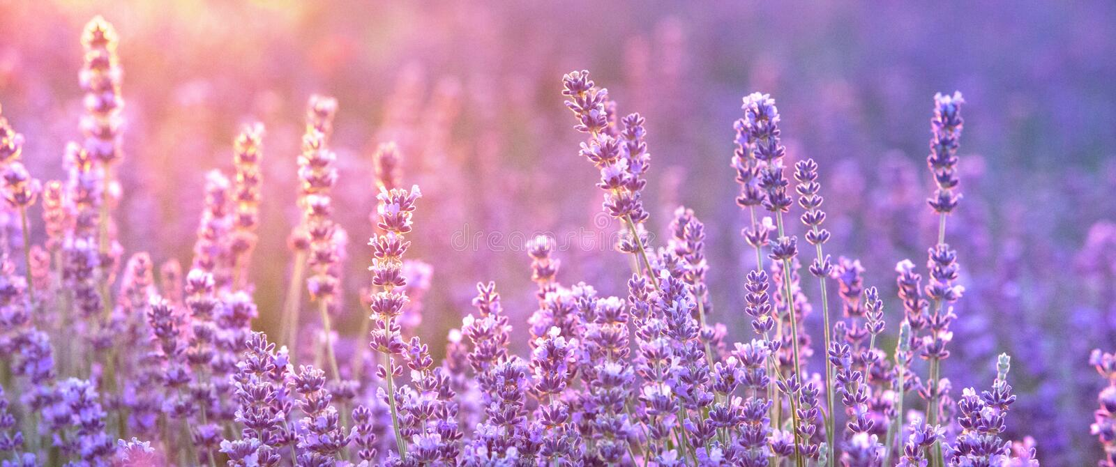 Lavender bushes closeup on sunset, horizontal background. Sunset gleam over purple flowers of lavender. Bushes on the. Center of picture and sun light on the royalty free stock photos