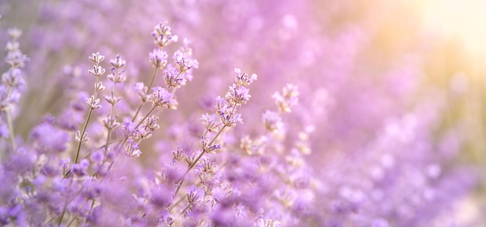Lavender bushes closeup on sunset, horizontal background. Sunset gleam over purple flowers of lavender. Bushes on the. Center of picture and sun light on the stock photography