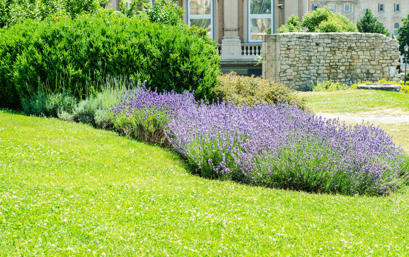 Lavender bushes. In a park stock photo