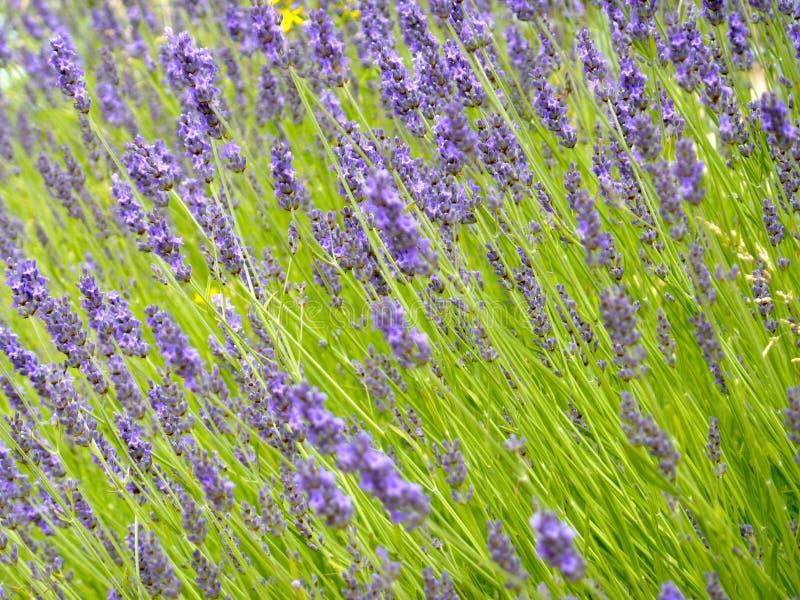 Download Lavender Stock Image - Image: 32016931