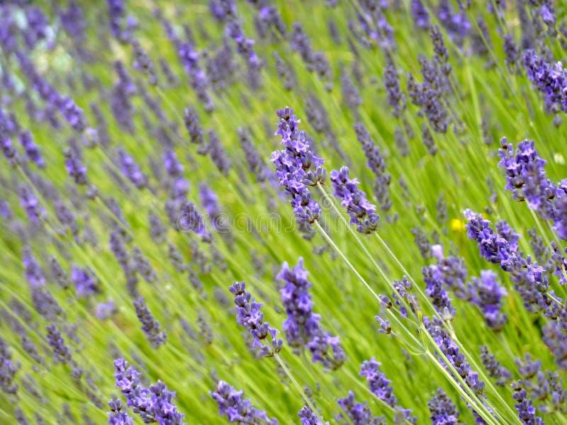 Download Lavender Stock Image - Image: 32016951