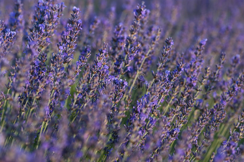 Download Lavender closeup stock image. Image of close, botanical - 10392093