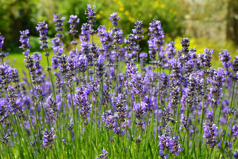 Download Lavender stock photo. Image of purple, field, farm, growing - 34263976