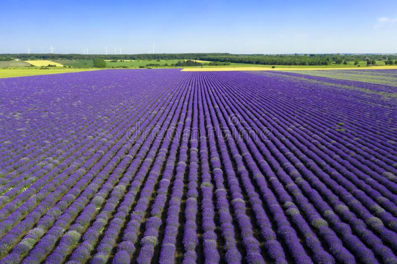 Lavender cultivation in Bulgaria stock images