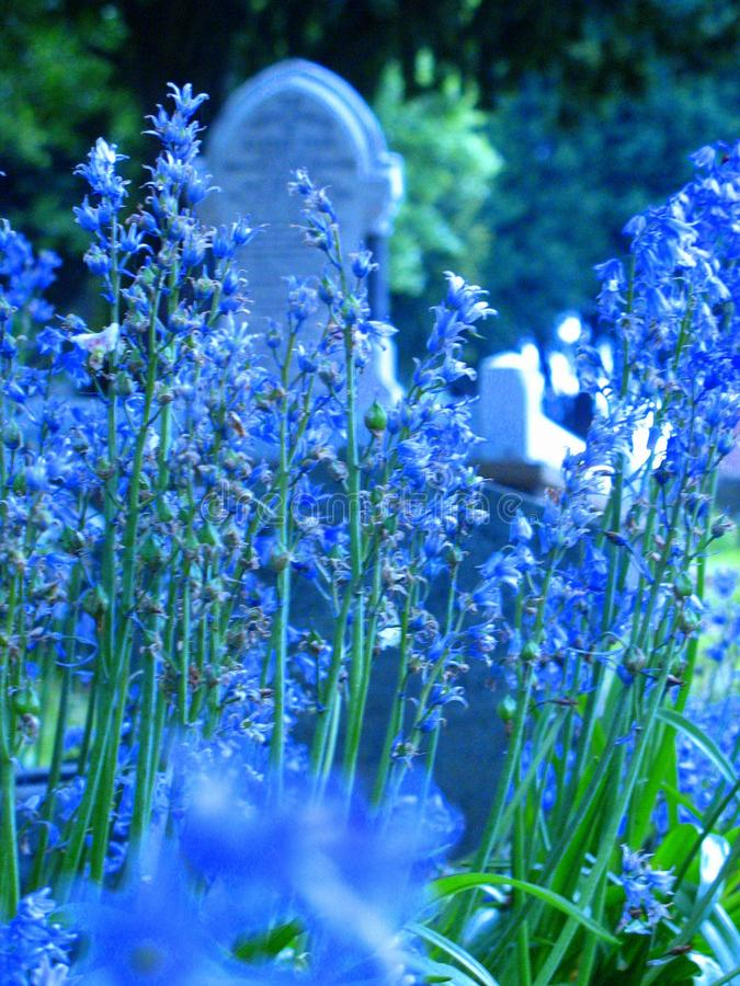 Lavender Deaths. The calming fields of lavender among the graveyards of the people who have died and been buried for hundreds and hundreds of years. Beautiful royalty free stock image