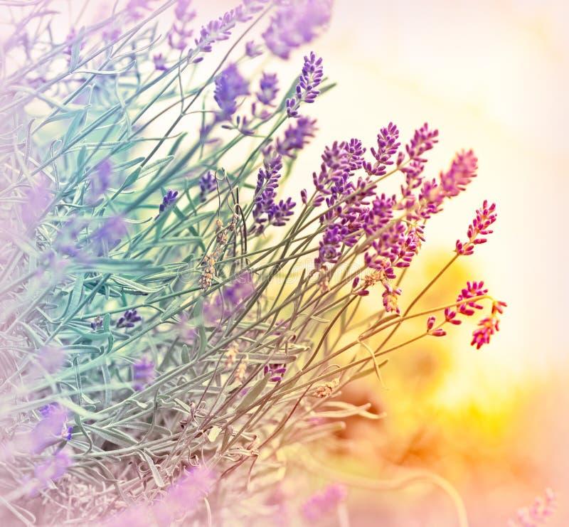 Lavender in defocus (out focus) stock photos