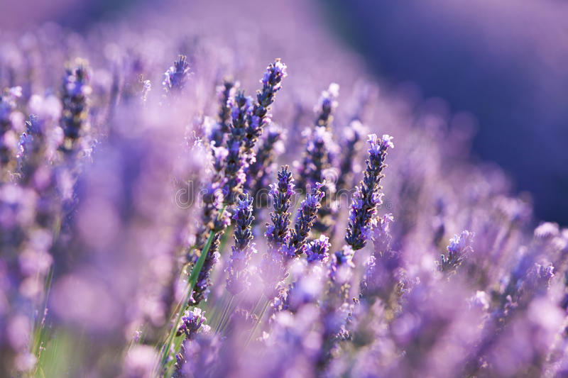 Lavender detail royalty free stock photo
