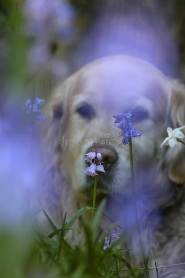 Lavender dog stock photo