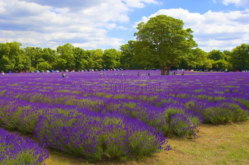 Lavender farm in Banstead, Surrey, UK royalty free stock images