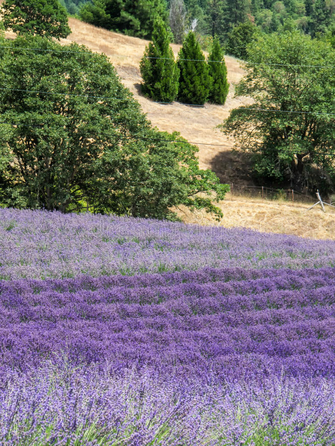 Lavender farm in bloom royalty free stock image