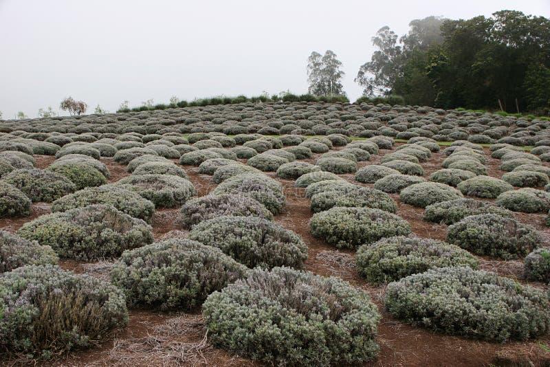 Download Lavender farm in Hawaii stock illustration. Illustration of brown - 22001339