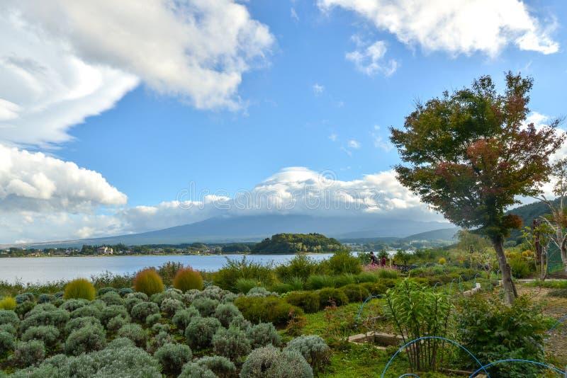 Lavender farm in Oishi Park, Lake Kawaguchiko. Yamanashi, Japan on an overcast day royalty free stock image