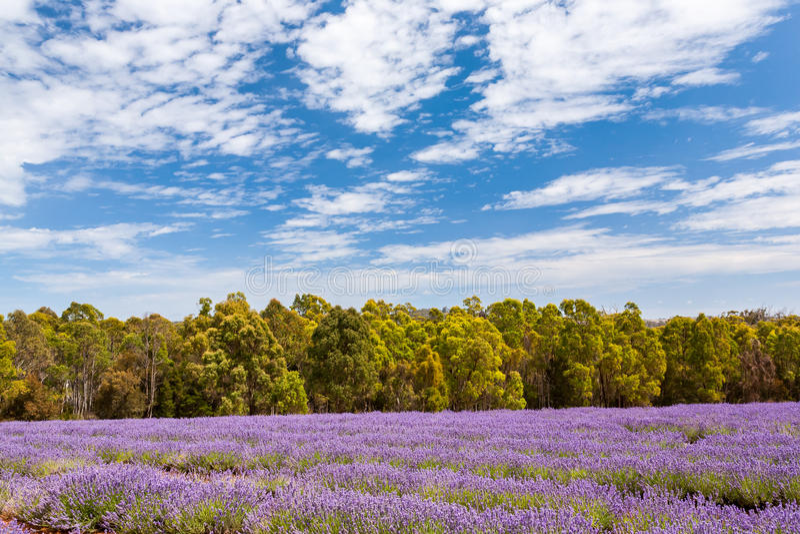 Lavender farm in Tasmania stock photos