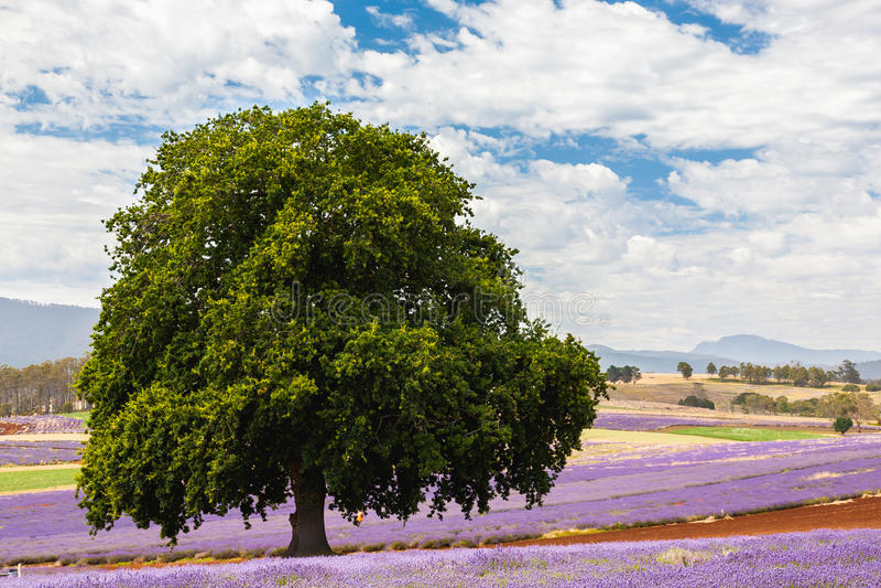 Lavender farm in Tasmania royalty free stock photo
