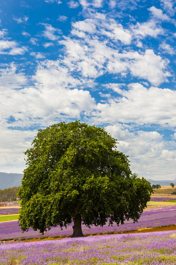 Lavender farm in Tasmania stock images