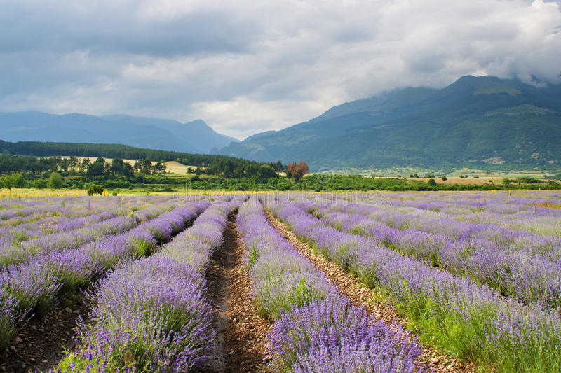 Download Lavender field stock photo. Image of outdoors, mountains - 14852972