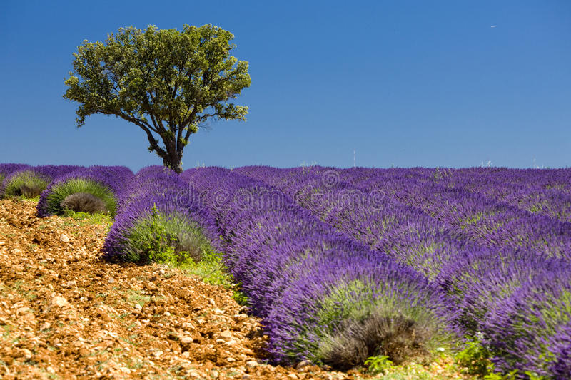 Download Lavender field stock image. Image of agriculture, field - 15257867