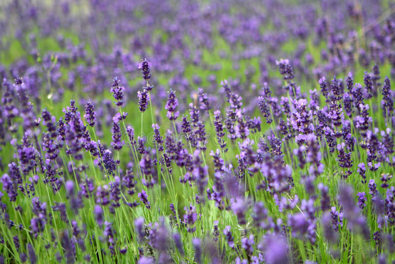 Download Lavender field stock image. Image of landscape, colourful - 16672927