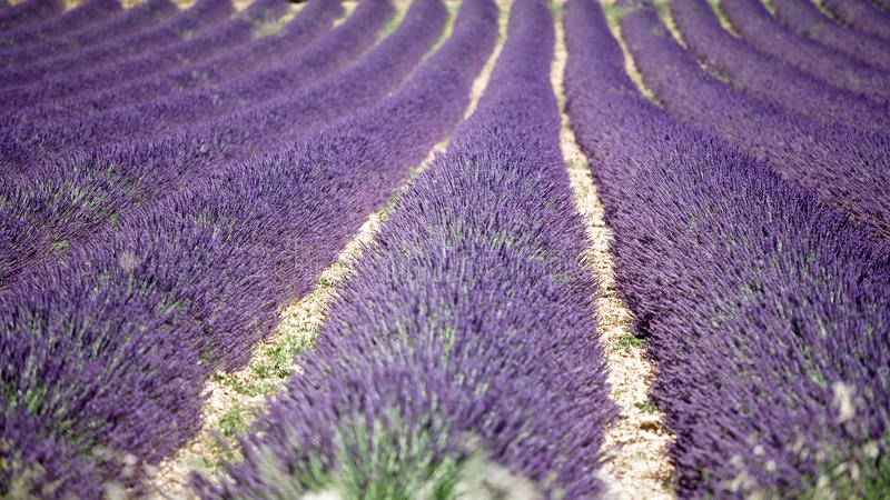 in Lavender Field royalty free stock images
