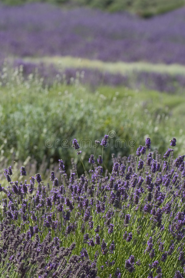 Download Lavender field stock image. Image of provence, smell, french - 196691
